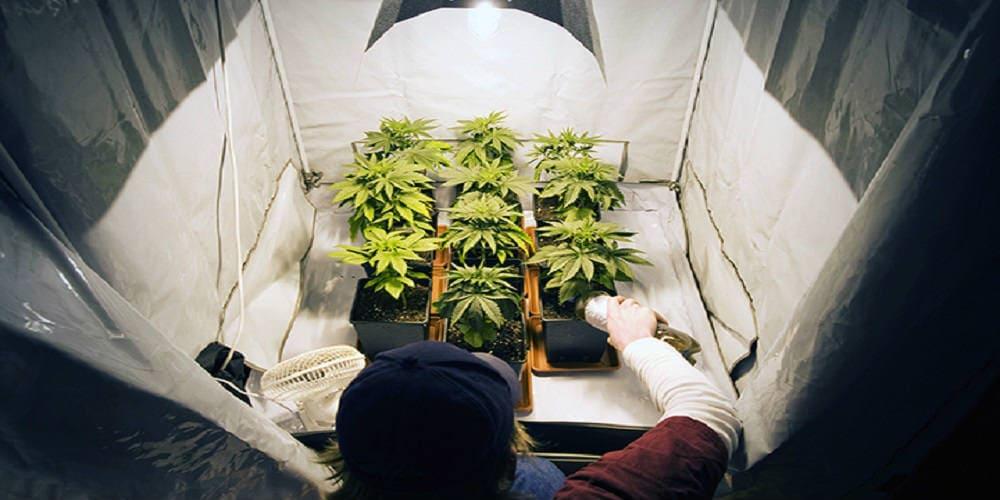 Семена марихуаны для домашнего выращивания законы о выращивании марихуаны в россии