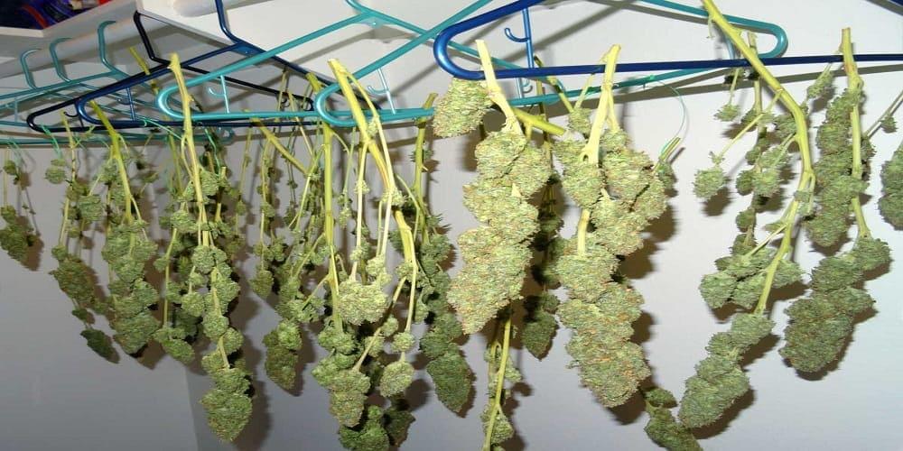 Как сушить марихуану видео линда марихуана текст