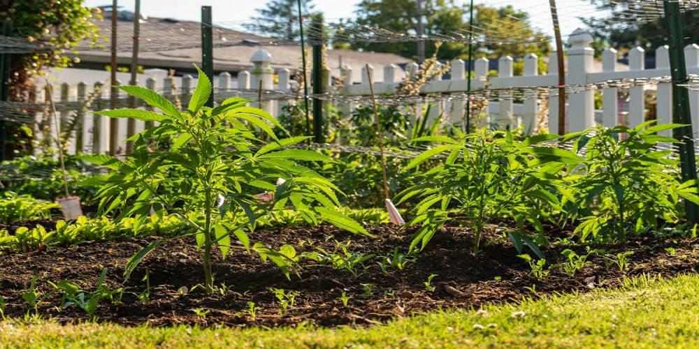 Как и когда сажать семена конопли элон марихуана