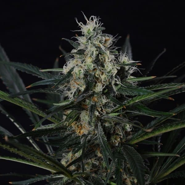 Auto Amnesia Feminised - 382 product
