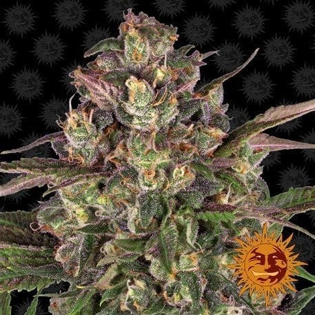 Peyote Critical Feminised - 17367 product