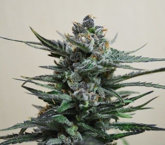 Auto Blueberry  - 238 product